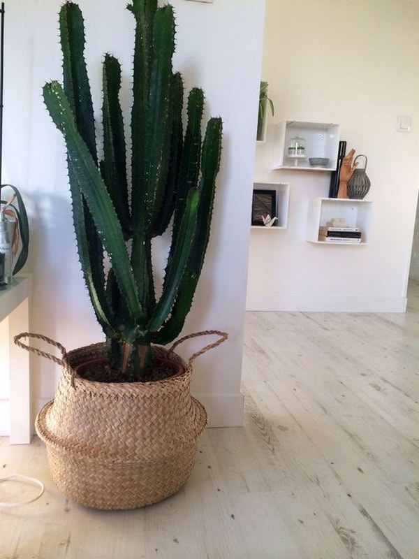 Cactus in wicker baskets