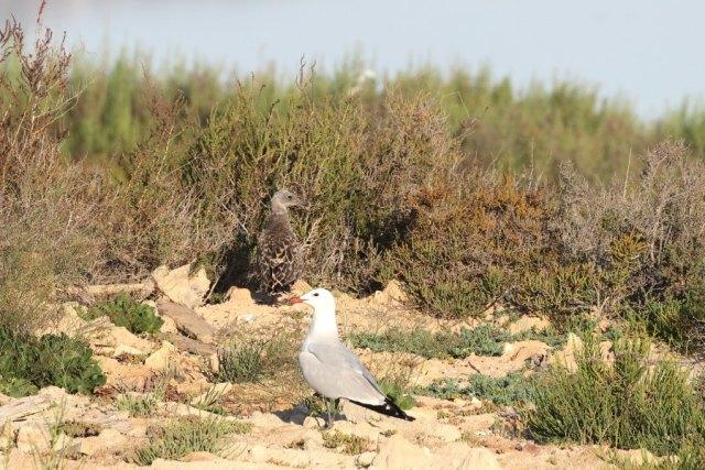 Adulto y joven de audouin en la laguna de Torrevieja (S. Arroyo)