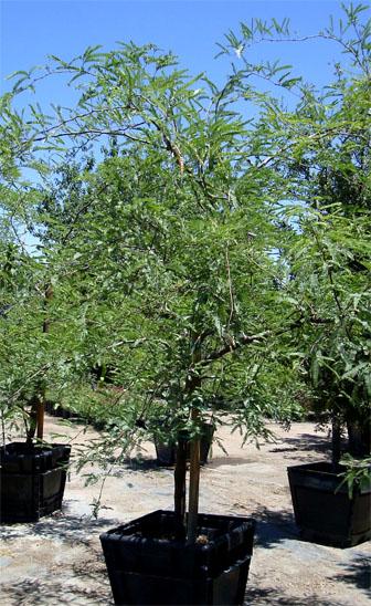 Estrella Canyon Nursery  Chilean Mesquite