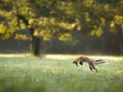 raposa-conjunta-árvore