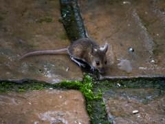 cruz-conjunção-rato