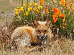 raposa-conjunção-buquê-lenormand
