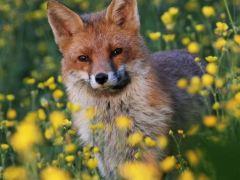 raposa-conjunção-jardim