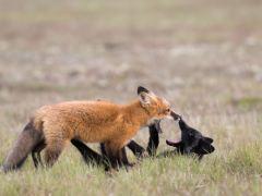 raposa-conjunção-urso