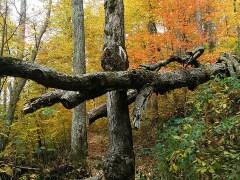 ávore-conjunção-cruz-lenormand