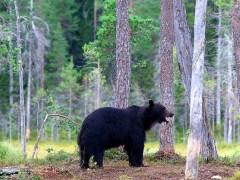 árvore-conjunção-urso-lenormand