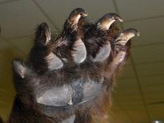 urso-conjunção-foice-lenormand