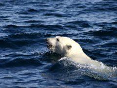 urso-conjunção-navio-lenormand