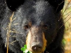 urso-conjunção-trevo-lenormand