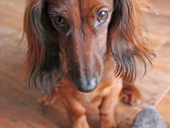 rato-conjunção-cão-lenormand