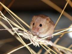 rato-conjunção-chicote-lenormand