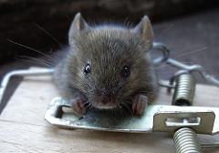 rato-conjunção-foice-lenormand
