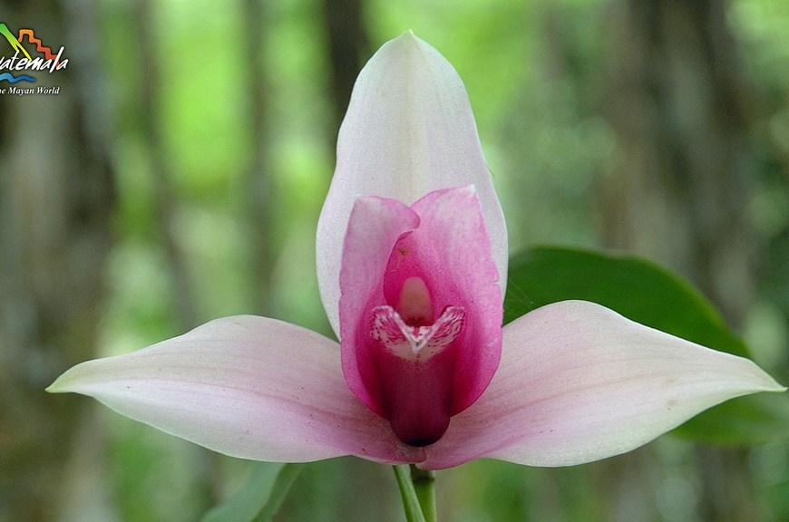 La Monja Blanca, Flor Nacional de Guatemala -4