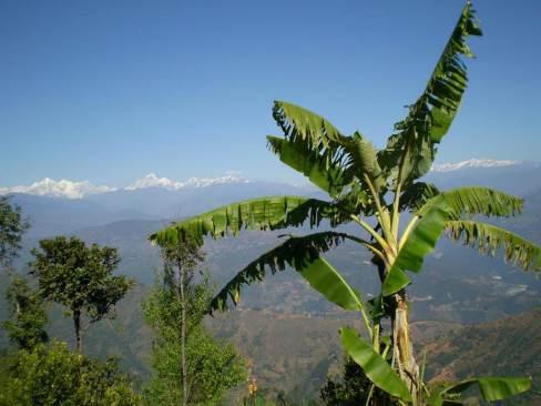 Árbol de platanero_Himalaya_Gulmi_Nepal