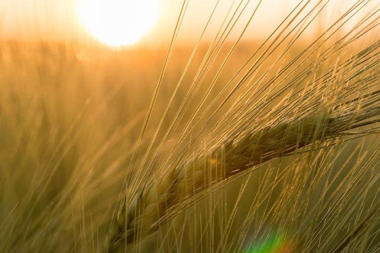 campo de cebada puesta de sol