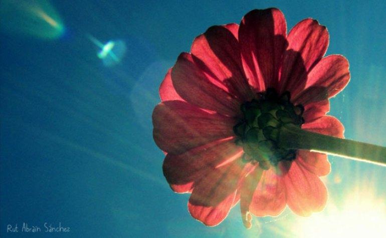 Fotografía de una dalia rosa tomada desde abajo en la que se ve el sol a su través