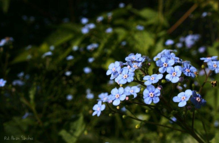 Fotografía de flores azules sobre un fondo verde tomada en el Jardín Botánico de Madrid