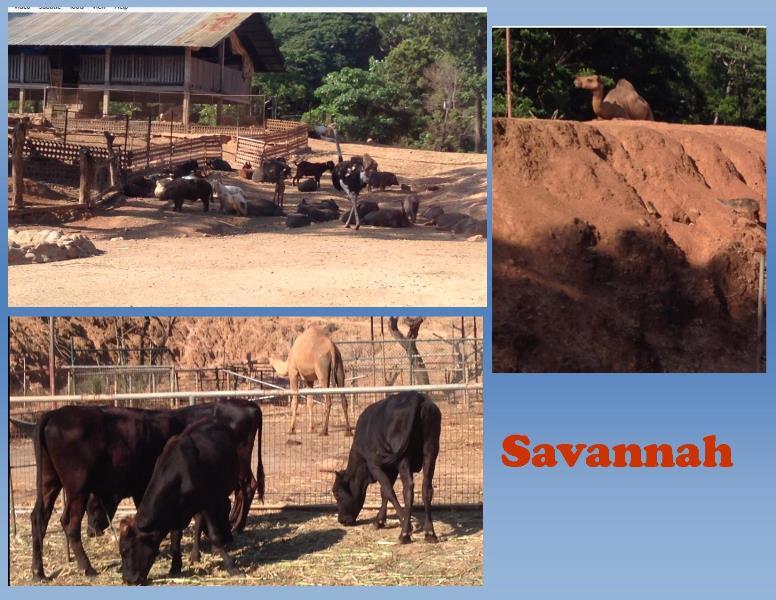 Savannah at Zoobic Safari