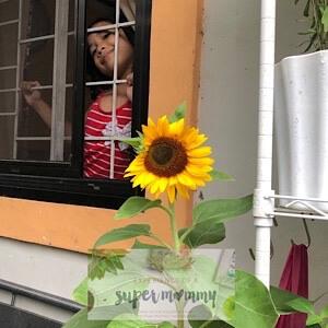 How to grow sunflower seeds?