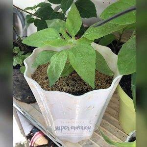 Dwarf Sunflower in Pot