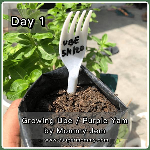 Growing Ube Purple Yam