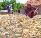 Petani Rumput Laut di Pamekasan