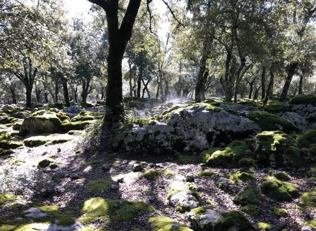 Steineichenwald mit Moos und Dunst auf Mallorca