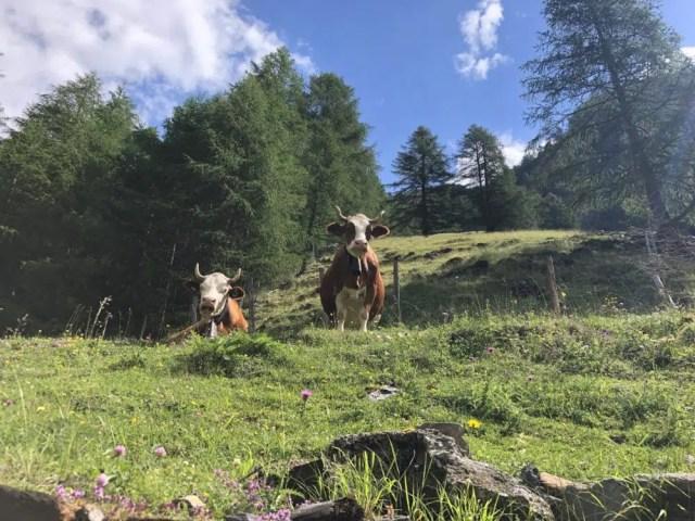 Kühe am Meraner Höhenweg