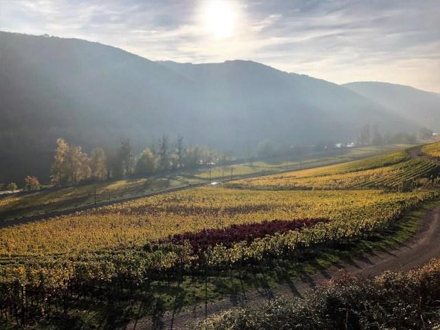 Herbstliche Weinreben an der Mosel