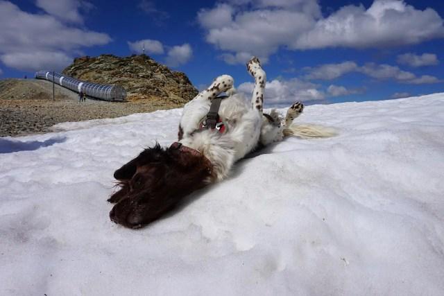 Alpen hund