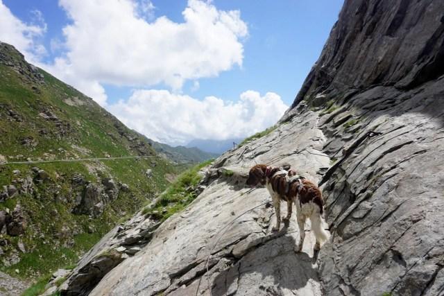 Berghund