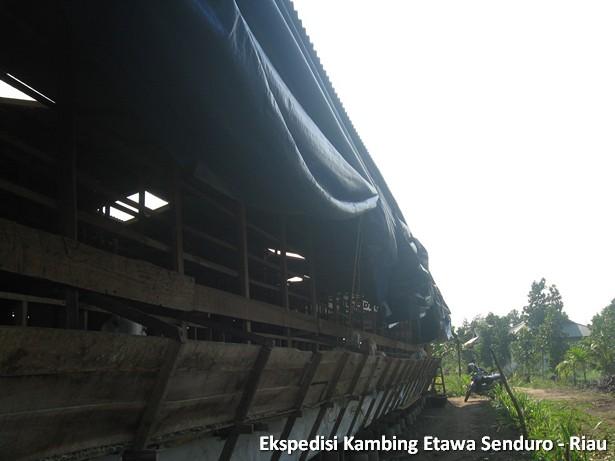 ekspedisi-kambing-etawa-senduro-riau