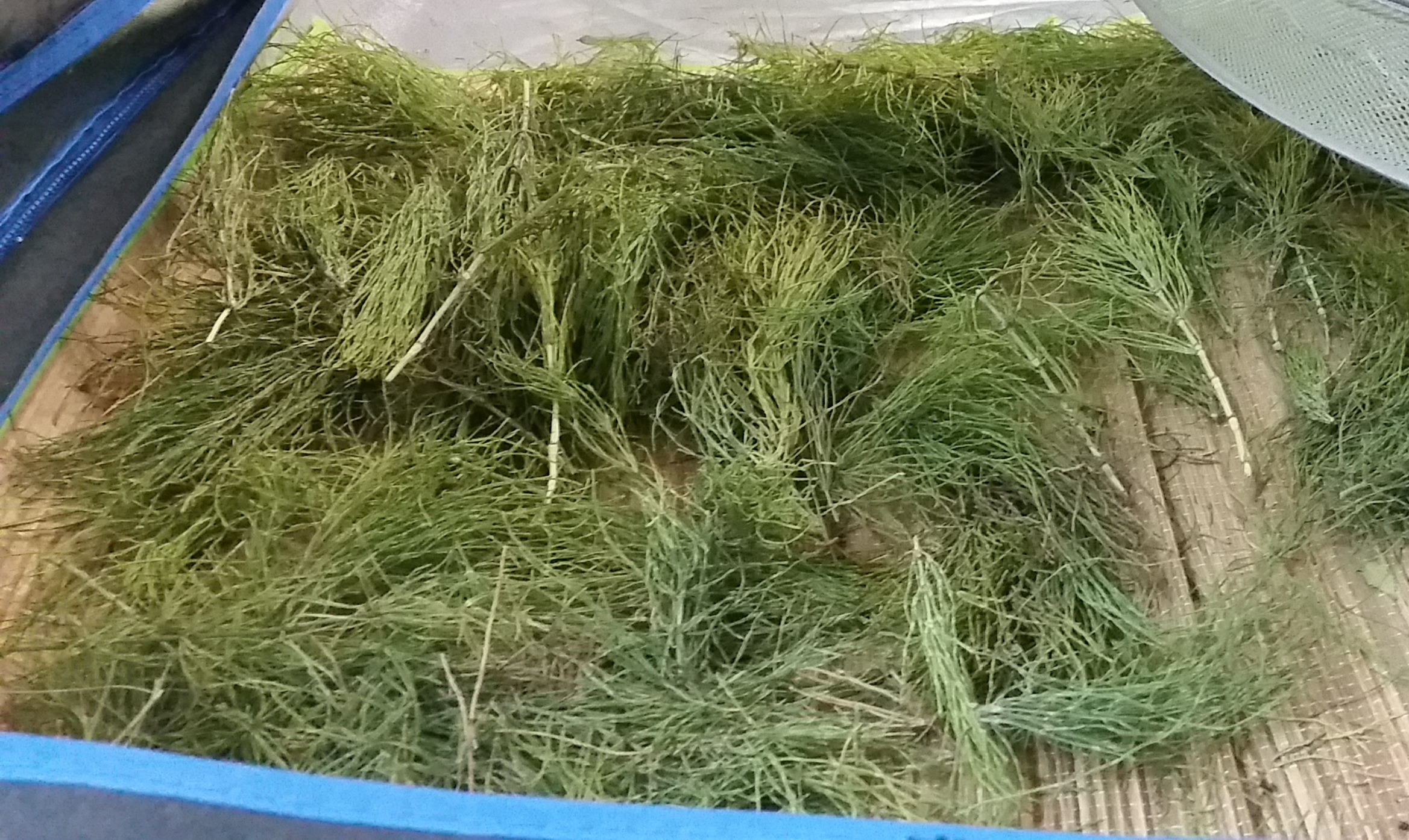 how to grow horsetail herb