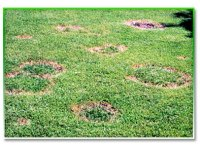 Necrotic Ring Spot Disease  Eternally Green Lawn Care