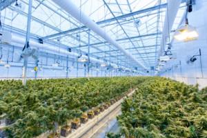 ETFMG launches leveraged cannabis ETF