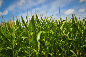 Corn reaping the benefits of Chinese demand