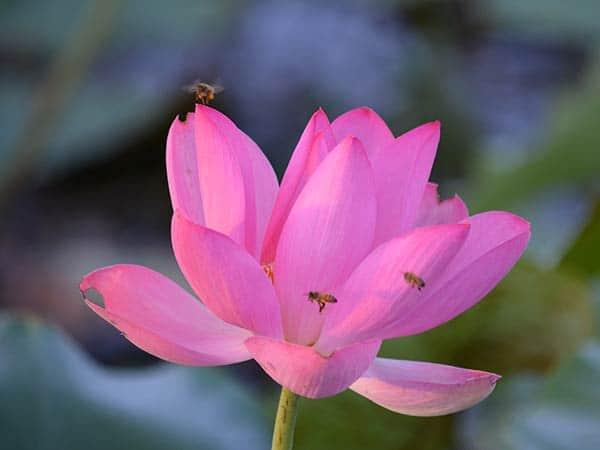 lotus-600-x
