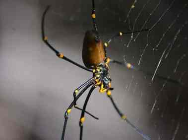 Golden Orb Spider (female)