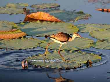 jacana on lilly darwin day tours fogg dam