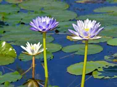 Water lillies (Nymphaea) - Darwin day tours with ethical adventures