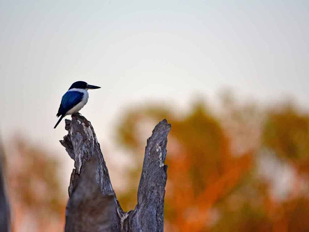 Forest Kingfisher on log - Colours of Kakadu by ethical adventures
