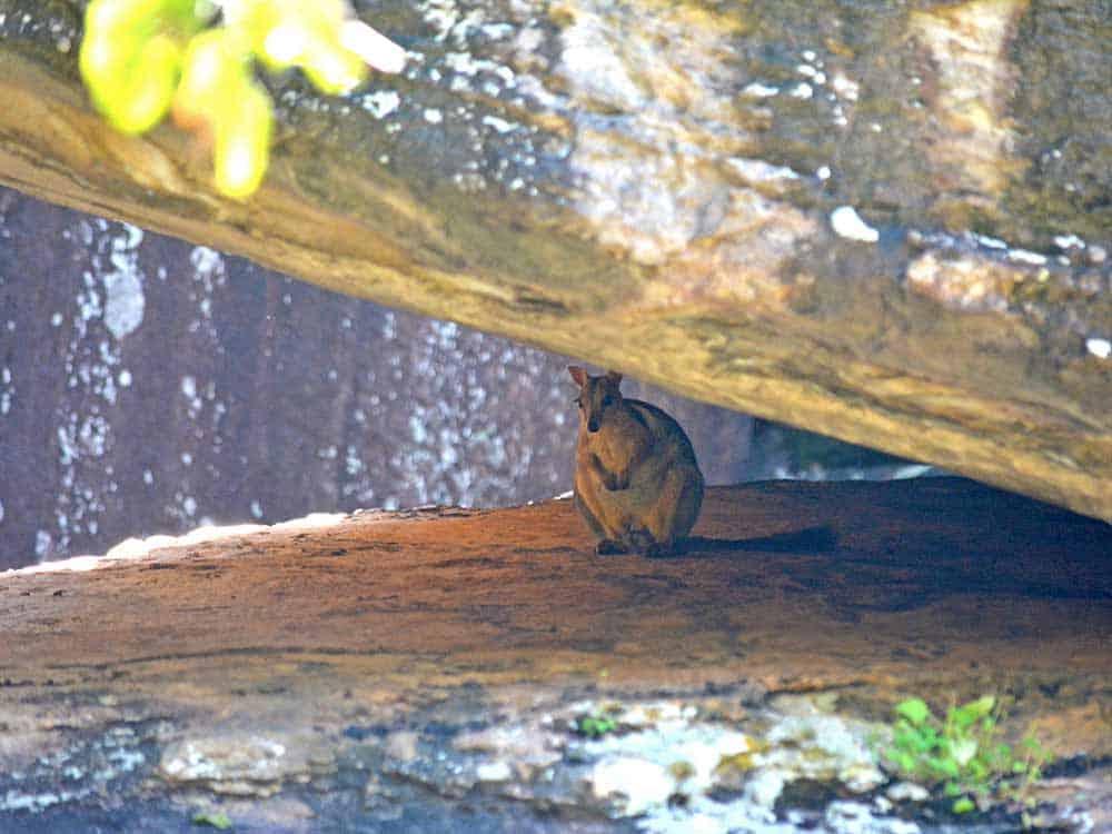 Rock Wallaby in Kakadu National Park