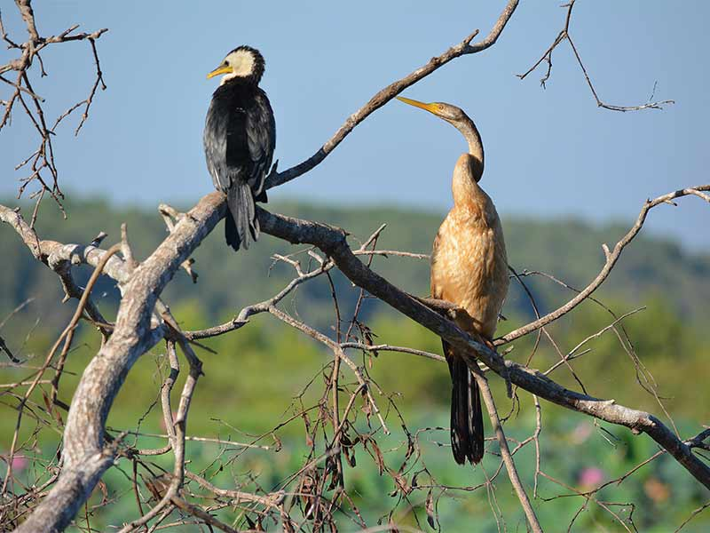 cormorant-and-darter