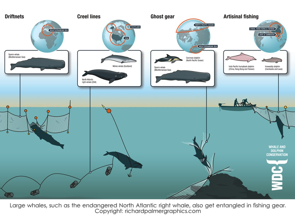 medium resolution of wdc finshing gear large whales such as the endangered north atlantic