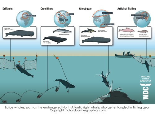 small resolution of wdc finshing gear large whales such as the endangered north atlantic