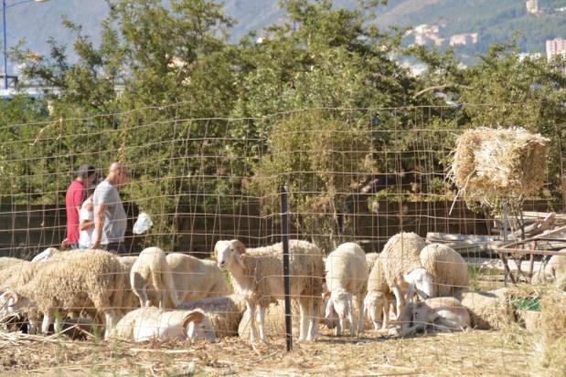 mouton-aïd-algerie