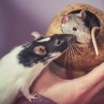 RATTI NEL MONDO… UN MONDO DI RATTI!