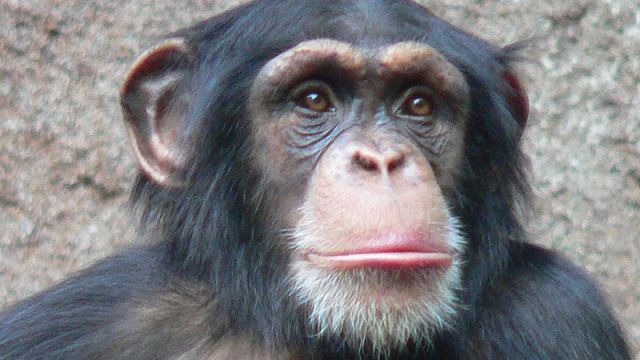 800px-Chimpanzee-Head (1)