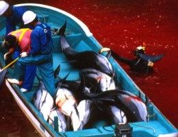 caccia delfini