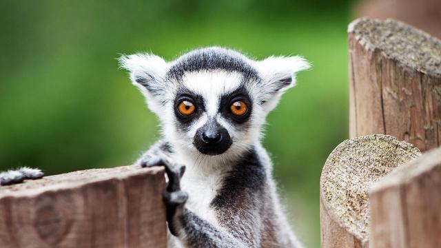 yoga lemuri